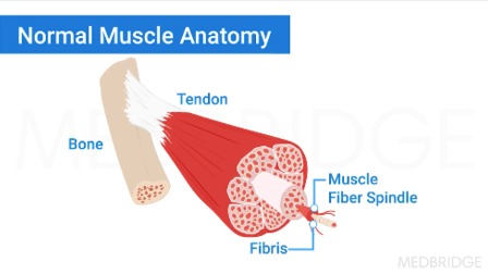 Pathophysiology of Muscle Injury