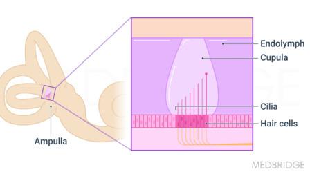 Vestibular Anatomy and Physiology