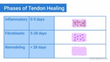 Flexor Tendon Zones and Healing