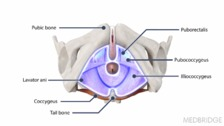 Functional Anatomy of the Pelvic Floor