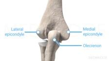 Bony Surface Anatomy of the Elbow